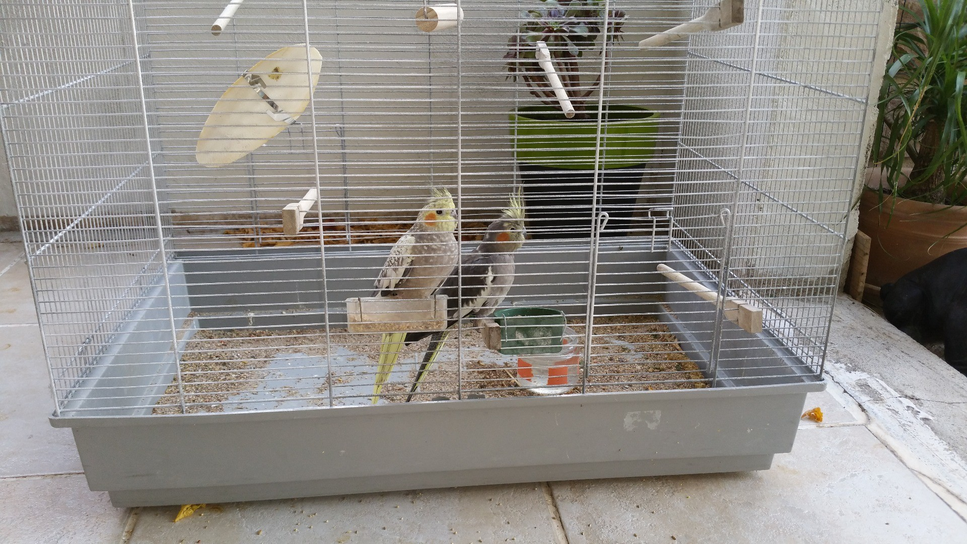 calopsitte cage