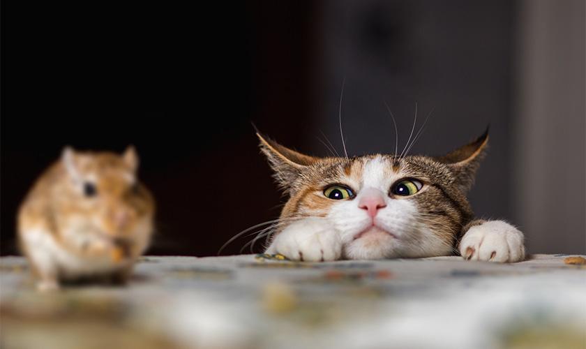 souris chat